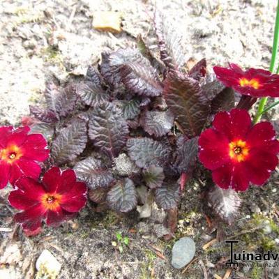 Primula vulgaris 'Innisfree' -