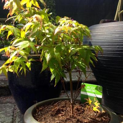 Acer palmatum 'Mapi-no-machi hime' -