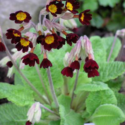 Primula veris red-flowered -