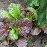 Brassica juncea 'Red Giant' - Brassica juncea 'Red Giant' - Sarepta-mosterd, mosterdkool, bladmosterd