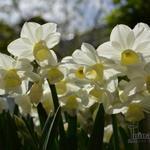 Narcissus 'Silver Chimes'  - Narcissus 'Silver Chimes'  - Narcis