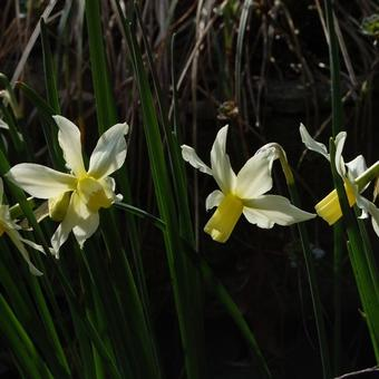 Narcissus cyclamineus 'Toto'