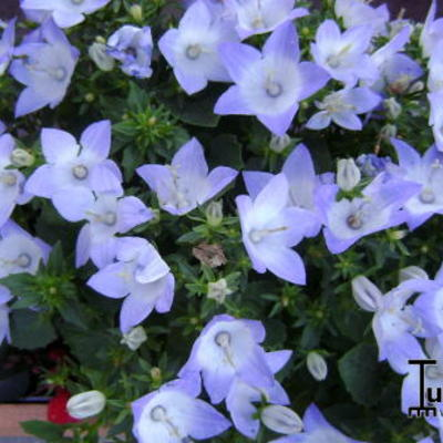 Campanula isophylla 'Berlin Bicolor' -