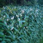 Prunus laurocerasus 'Zabeliana' - Laurierkers