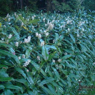 Prunus laurocerasus 'Zabeliana' -