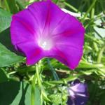 Ipomoea purpurea - Ipomoea purpurea - Blauwe winde / klimmende winde