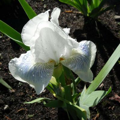 Iris germanica 'Cutie' -