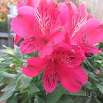 Alstroemeria 'INCA Lolly' - Incalelie
