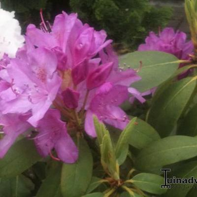 Rhododendron 'Roseum Elegans' - Rododendron - Rhododendron 'Roseum Elegans'