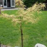 Acer palmatum 'Koto no ito' - Japanse esdoorn - Acer palmatum 'Koto no ito'