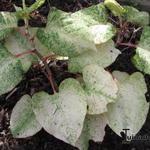 Fallopia japonica 'Variegata' - Fallopia japonica 'Variegata' - Japanse duizendknoop