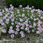 Aethionema armenum 'Warley Rose' - Steenkers