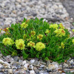 Eriogonum umbellatum var. porteri - Eriogonum umbellatum var. porteri - Amerikaanse boekweit, Zwavelbloem