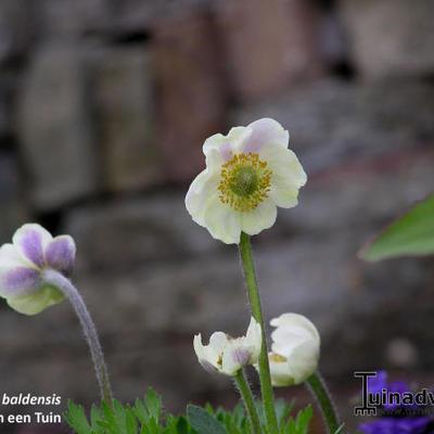 Anemone baldensis -