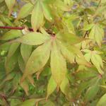 Acer palmatum 'Osakazuki' - Japanse esdoorn - Acer palmatum 'Osakazuki'