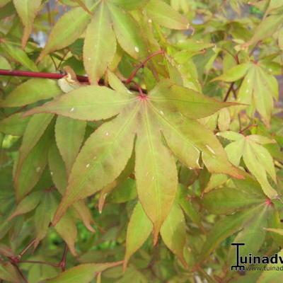 Acer palmatum 'Osakazuki' -