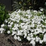 Kruipphlox - Phlox subulata 'Maischnee'