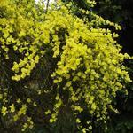 Wilde Brem - Cytisus scoparius
