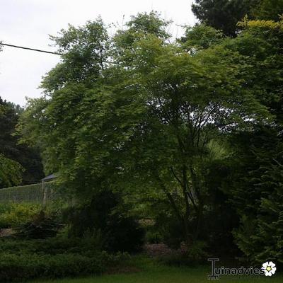 Acer palmatum 'Viridis' -