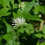 Galium rotundifolium - Galium rotundifolium - Walstro