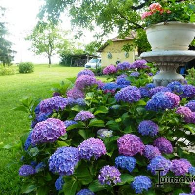 hortensia klimhortensia hydrangea anomala subsp petiolaris. Black Bedroom Furniture Sets. Home Design Ideas