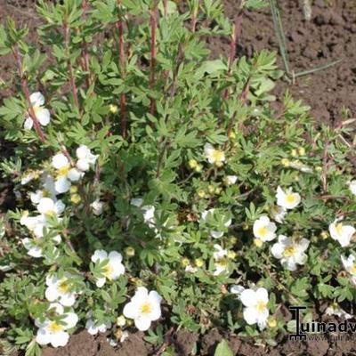 Potentilla fruticosa 'Tilford Cream' - Struikganzerik - Potentilla fruticosa 'Tilford Cream'