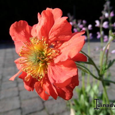 Geum coccineum 'Red Wings' - Nagelkruid