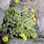 Alyssum propinquum - Alyssum propinquum - Schildzaad