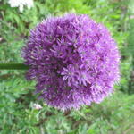 Allium 'His Excellency' - Allium 'His Excellency' - Sierui