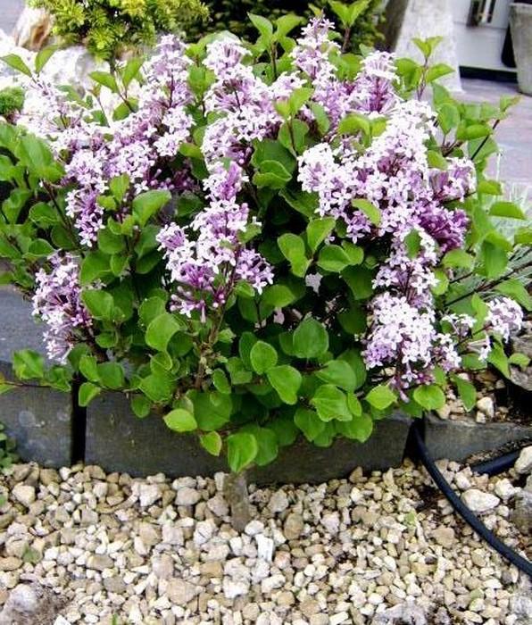 sering mini sering syringa microphylla 39 superba 39 planten online kopen. Black Bedroom Furniture Sets. Home Design Ideas
