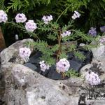 Aethionema armenum  - Aethionema armenum  - Steenkers