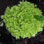 Saxifraga exarata subps. moschata 'Cloth of Gold'  - Steenbreek