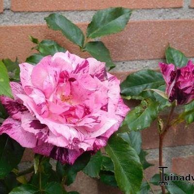 Rosa 'Purple Tiger' -