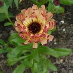Calendula officinalis 'Bronzed Beauty' - Calendula officinalis 'Bronzed Beauty' - Goudsbloem