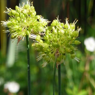 Allium obliquum -