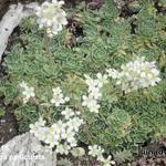Saxifraga paniculata - Trossteenbreek - Saxifraga paniculata