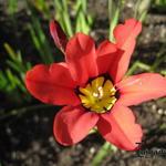 Sparaxis tricolor - Sparaxis tricolor - Zigeunerbloemen
