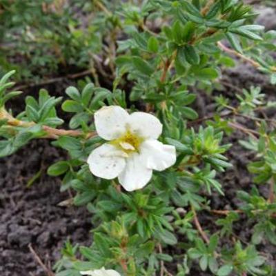 Potentilla fruticosa 'McKay's White' -