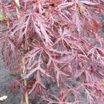 Acer palmatum 'Crimson Queen' - Acer palmatum 'Crimson Queen' - Japanse esdoorn