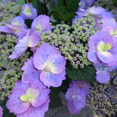 Hydrangea macrophylla FLAIR & FLAVOUR 'Blueberry Cheesecake' -