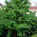 Cercidiphyllum japonicum - Cercidiphyllum japonicum - Katsuraboom, judasboom, koekenboom, hartjesboom