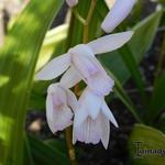 Bletilla striata 'Alba' - Aardorchidee, Hyacint-orchidee - Bletilla striata 'Alba'