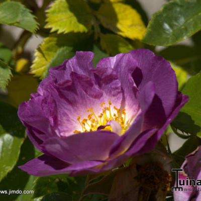 Rosa 'Blue For You' - Roos
