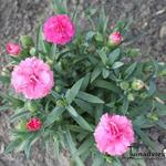 Dianthus  caryophyllus SUNFLOR 'Pink Campari' - Dianthus  caryophyllus SUNFLOR 'Pink Campari' - Anjer, potanjer