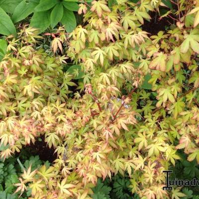 Acer palmatum 'Katsura' -