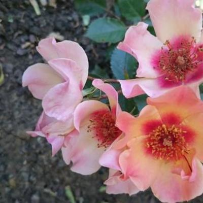 Rosa 'For Your Eyes Only'  -