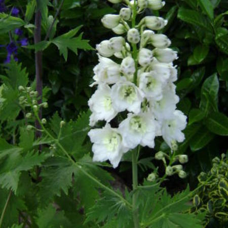 Delphinium 'MAGIC FOUNTAIN Pure White'