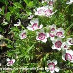 Dianthus plumarius 'White with Dark Red Eye' - Grasanjer
