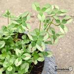 Trifolium repens 'Dragon's Blood'  - Klaver
