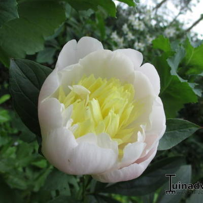Paeonia lactiflora 'Primevere' -